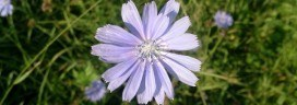 chicory-coffee
