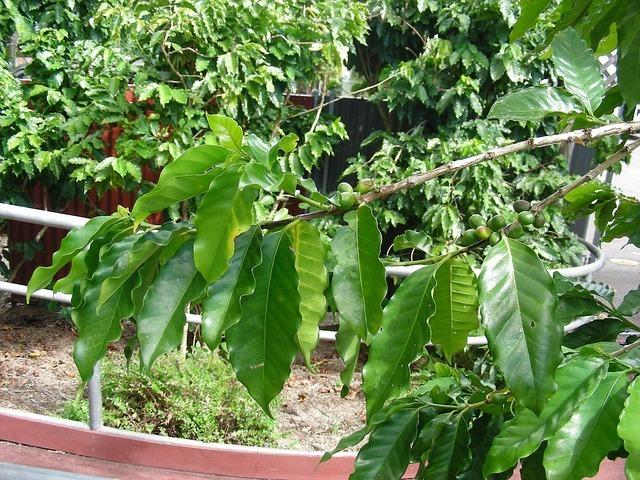 日本でコーヒーは栽培できるのか?