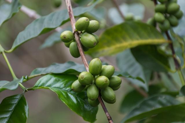 スリランカ コーヒーチェリー