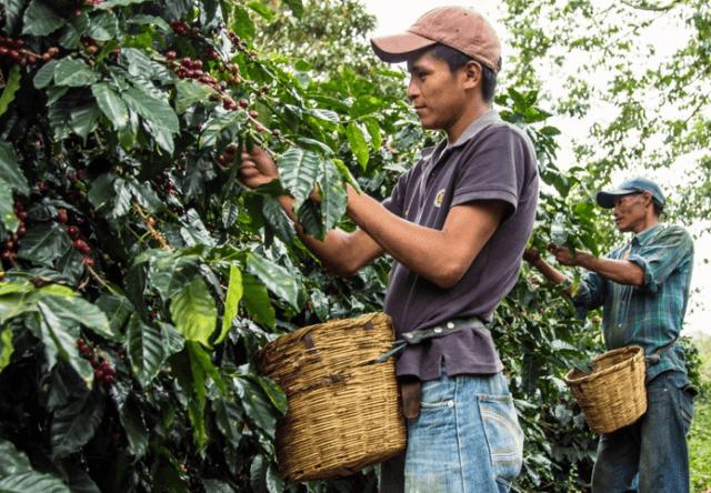 コーヒー豆ができるまで【栽培・収穫】 収穫