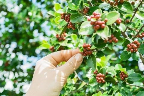 コーヒー豆ができるまで【栽培・収穫】 果実