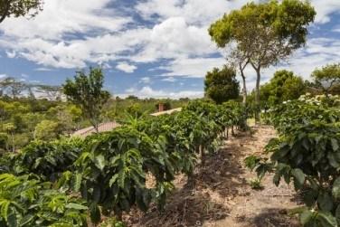 【コーヒー豆の種類】代表的なコーヒーの野生種