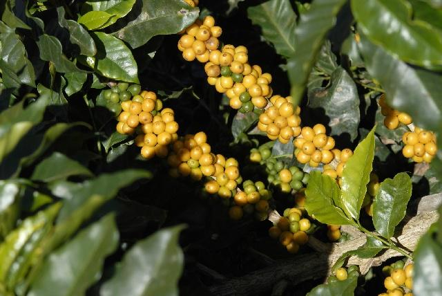 黄色い実のなる「カトゥーラ」と「アマレロ」