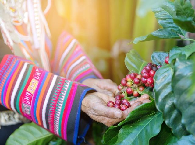 コーヒー豆の3つの収穫方法_手積み