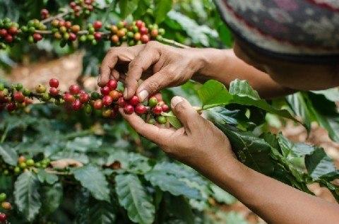 コーヒー豆の3つの収穫方法