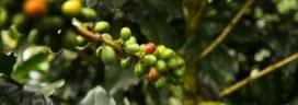 コーヒーチェリー コーヒー農園 272x96
