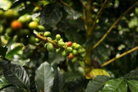 コーヒーチェリー コーヒー農園 480x320