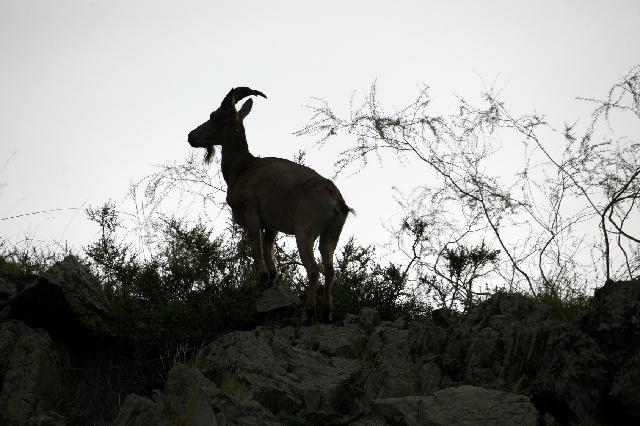 ヤギ_歴史_カルディの伝説_エチオピア